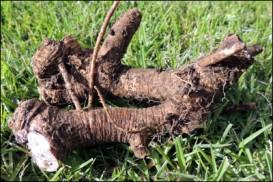 Freshly-dug horseradish root.