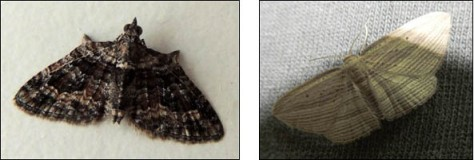 Apple Looper moth and Cabbage Tree moth