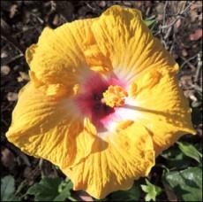 Hibiscus Golden Oriel