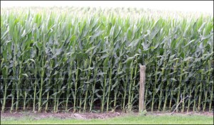 Maize growing over our fence.