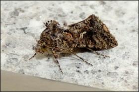 Scar Back Gem moth