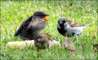 Sparrows eating corn