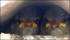 Baby sparrows peeping out from under the roof