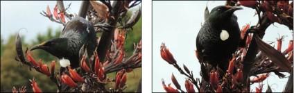 A tui feeding from harakake flowers