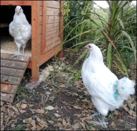 Our new white Orpington hens