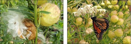Swan plant seed head, and monarch butterfly on flowers