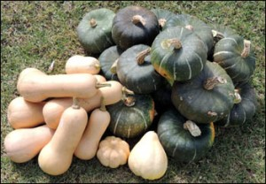 Squash 'Butternut Chieftain' and 'Burgess Buttercup'