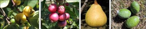 Cherry Guava, Yellow Guava, Pear, Feijoa