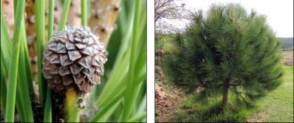 Pine Nut (family Pinaceae, genus Pinus)