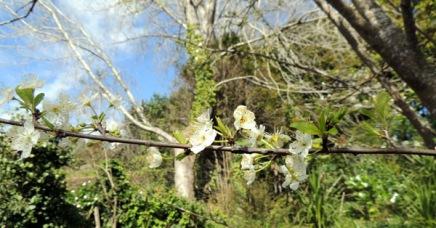 Blossom on the plum tree.