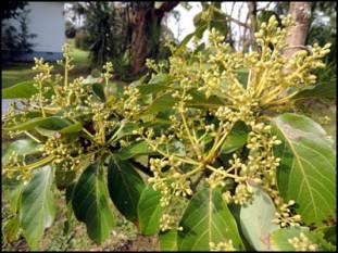 Avocado 'Fuerte' in flower.