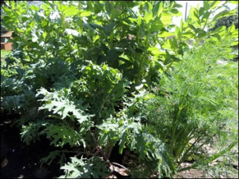 Russian Kale in the foreground, with self-sown Dill to the left and Broad Beans behind.
