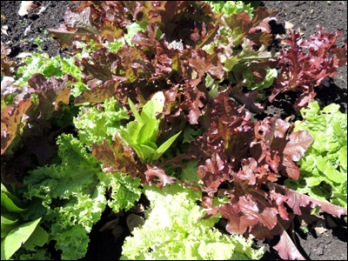 A selection of the lettuces we have at the moment.