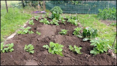 Early potatoes after first 'earthing-up'.