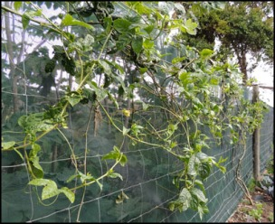 The Passion Fruit vine, after hard pruning.
