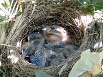 A blackbirds' nest, complete with chicks.