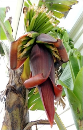A new flower on Banana 'Mons Mari'.