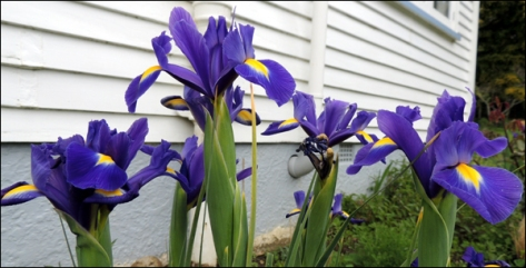 Siberian Irises (Iris sibirica) growing against the west-facing wall of the house.