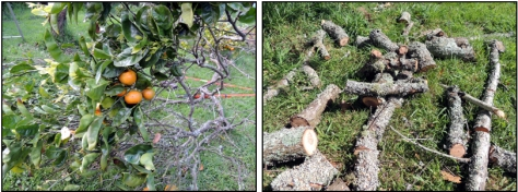 Left: Mandarin trimmings - pity about the fruit but we couldn't reach it anyway; Right: Firewood-sized plum tree trimmings.