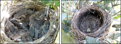 Left: Nest with chicks, 15 October; Right: Empty nest, 17 October.