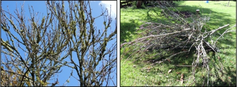 Left: View of the lichen-encrusted branches on the old pear tree; Right: Pear prunings.