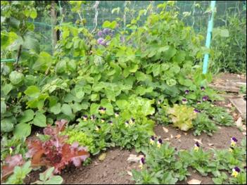 Lettuces and Runner Beans.