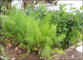 Florence Fennel (foreground) and Peas.