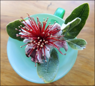 Freshly-plucked Feijoa flower.