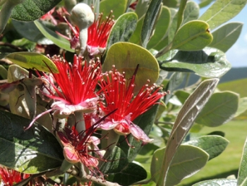 Feijoa flowers are irresistible to birds.
