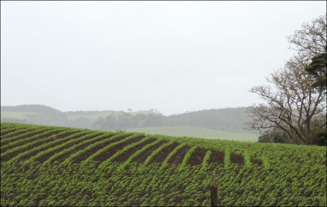 Rain is being blown across the paddocks, watering the maize.