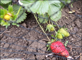 The strawberries are safe from the blackbirds, now.