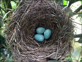 Three Blackbird eggs