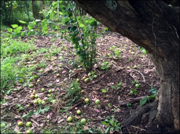 This doesn't really show the extent of the plum loss - they are spread over a wide area of ground