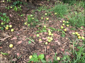 Fallen plums