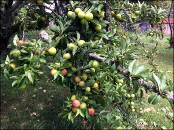 The second plum tree - mostly unaffected by the wind