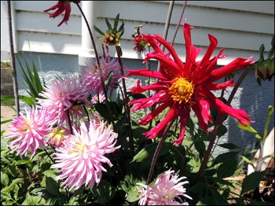Dahlias ' ' and 'Apache blue'.