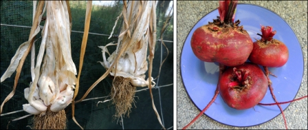 Garlic drying on our back fence and a plate of newly-pulled beetroot.