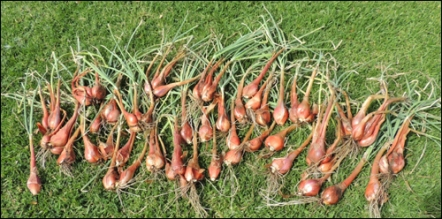 Our harvest of Egyptian Walking Onions