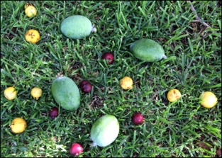 A scattering of fruit; Feijoa and Guava.