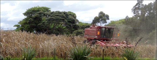 Maize being harvested.