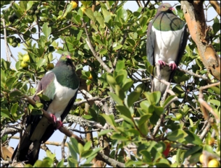 A pair of kererū in the yellow guava.