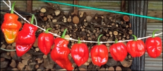 Chilli peppers strung up in the barn.
