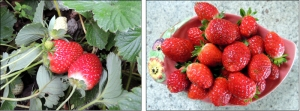 Juicy strawberries growing at the end of Autumn