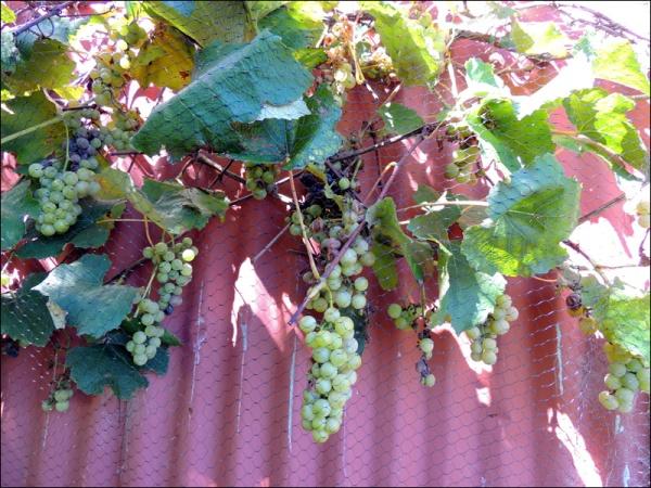 grapes 01
