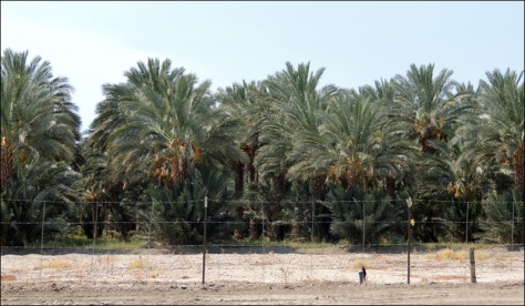 Blog 02 Rows of date palms